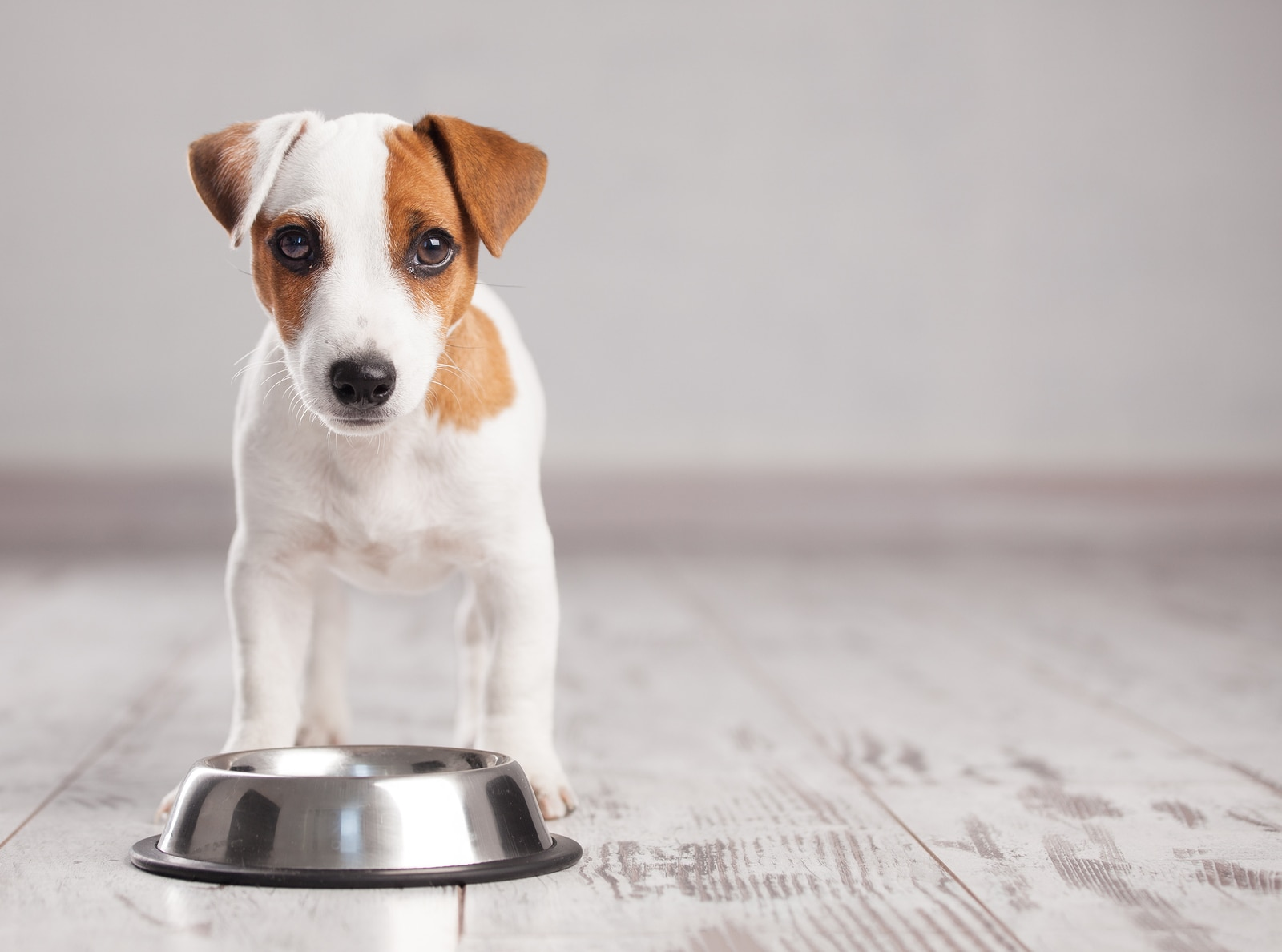 Jack Russell Terrier puppy stands behind silver dog bowl on gray wooden floor.